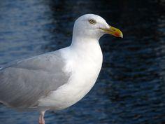 Seagull, Dingle Bay, Co. Kerry, Ireland  Amature Photography
