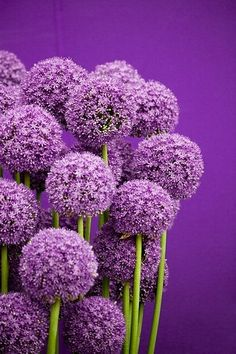 Allium - same colors I have in the bedroom! I need this as a painting or a print on canvas for over the bed.