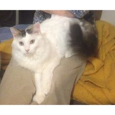 Meet Ace, a Petfinder adoptable Domestic Medium Hair-white Cat   Kalamazoo, MI   Ace is a beautiful boy with pure white fur, a few patches of gray tabby (including his tail) and...