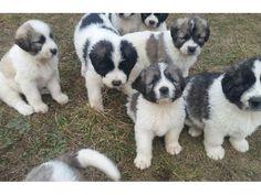 Pui ciobanesc mioritic Manastireni - Anunturi gratuite - anunturili.ro Doggies, Feathers, Dog Cat, Puppies, Cats, Fluffy Puppies, Dog, Gatos, Puppys