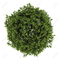 Picture Of Top View Small Leaved Lime Tree Isolated On White Background Stock Photo Images And Photography