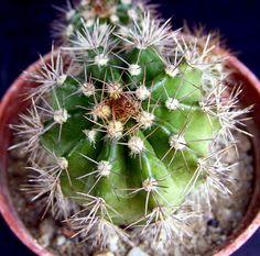 Echinopsis huottii v. cotacajesii