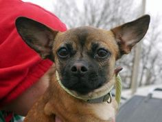 Pandora French Bulldog Mix & Chihuahua • Adult • Female • Small Mt. Pleasant Animal Shelter East Hanover, NJ--- Pandora is a unique and different French bulldog/chi mix that is between 2-3 years old. She is from an overcrowded shelter in rural NC. Please ask for more information on Pandora!