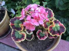 Image result for mrs. parker geranium