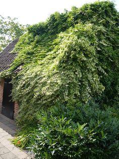 Hedera algeriensis 'Gloire de Marengo' / Nordafrikanisches Efeu 'Gloire de Marengo' – Selbstklimmende Kletterpflanze, die bis zu 3m hoch wird. Bildet von September bis Oktober weiß bis gelbgrüne, traubige Blütenstände. Beeren sind nicht zum Verzehr geeignet