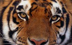 tiger wallpaper full hd