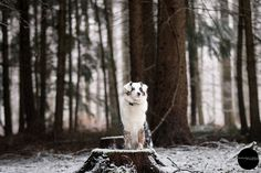 Photo shoot of an Australian Shepherd in snow. Belgium