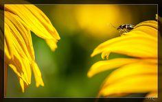 Käfer °° bug °° Coleoptera