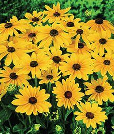 Summer 2016 Market Bouquets Rudbeckia Indian Summer