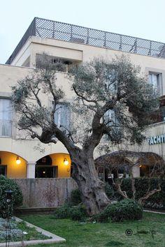 Olive tree - 3