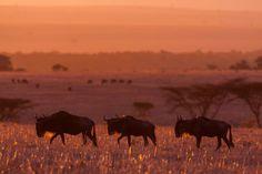 Bisons - Paul Goldstein, guide et Photographe Animalier, a passé ces dernières années à photographier le Masai Mara, une réserve naturelle au Kenya célèbre pour ses lumières et sa population d'Animaux Sauvages.