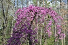 Weeping Redbud    Weeping forms of trees are instant focal points.  The redbud is one of the first trees to bloom in the spring.  This small deciduous tree has attractive foliage, attractive trunk bark as the tree ages and beautiful spring flowers.  I has a height of eight to 10 feet.  It tolerates light shade and prefers moist, well drained soil.  This is a fine specimen tree.