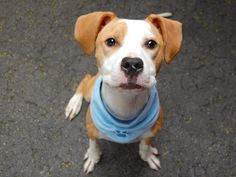 PUPPY - ALERT - Manhattan Center    LUCKY - A1003113   NEUTERED MALE, TAN / WHITE, PIT BULL MIX, 8 mos  OWNER SUR - ONHOLDHERE, HOLD FOR ID  Reason MOVE2NYCHA   Intake condition NONE Intake Date 06/13/2014, From NY 10029, DueOut Date 06/13/2014  https://www.facebook.com/photo.php?fbid=821214257891455set=a.617938651552351.1073741868.152876678058553type=3permPage=1