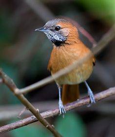 Foto joão-de-barba-grisalha (Synallaxis kollari) por Marcelo Camacho | Wiki Aves - A Enciclopédia das Aves do Brasil