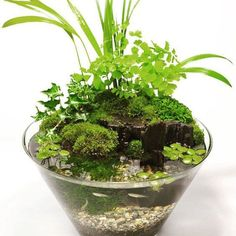 【aquashopwasabi AQUASHOPwasabi 📷Photo by Miki Hirabayashi Small Water Gardens, Container Water Gardens, Indoor Water Garden, Glass Garden, Container Gardening, Indoor Plants, Mini Terrarium, Terrarium Plants, Paludarium