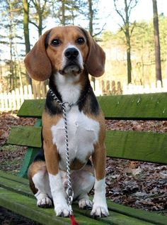How to train a beagle ? by L&G PET What to do if the Beagle is not obedient? The owners of pet dogs hope that their dogs ca. Dog Training Methods, Dog Training Techniques, Best Dog Training, Yorkshire Terriers, Pet Dogs, Dogs And Puppies, Puppy Obedience Training, Positive Dog Training, Bulldog Breeds