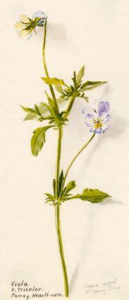 Lilian Snelling -- Viola v. tricolor -- Lilian Snelling -- Artists -- RHS Prints