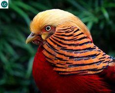 https://www.facebook.com/WonderBirds-171150349611448/ Trĩ vàng; Họ Trĩ-Phasianidae; miền tây Trung Hoa || Golden pheasant/Chinese pheasant (Chrysolophus pictus); IUCN Red List of Threatened Species 3.1 : Least Concern (LC)(Loài ít quan tâm).