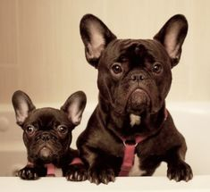 Zoe and Simon, French Bulldogs at bath time. They are quite adorable.❤️