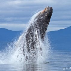Humpback Whale, Frederick Sound, Alaska. This is on my bucket list...