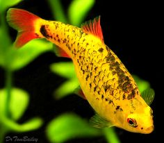 A young mature female Gold Barb. To see more click on ... http://www.AquariumFish.net/catalog_pages/cyprinids/barbs.htm#4544