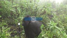 Gorila de montaña se acerca a cámara 360 de turistas en Rwanda #Animales #Gorilas #Gear360