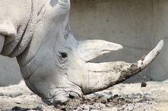 Rinocerontes blancos están a punto de extinguirse