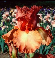 "Copper Classic Type: Tall Bearded (TB) Style: Self Height: 35"" Color: Orange Originator: Roderick, E. Year: 1979 Bloom Season: Late Fragrant..."