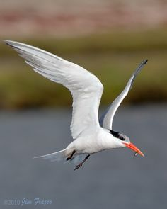 Elegant Tern with Fish | Flickr - Photo Sharing!