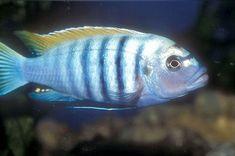 Dogtooth Cichlid | Dogtooth Cichlid, Cynotilapia afra, Afra Cichlid, Red Top Afra, White ...
