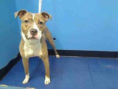 TOOKY is an adoptable Pit Bull Terrier Dog in New York, NY.  ...