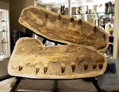 "How ""big"" is BIG? T-Rex of the ocean that was a reptile and the largest marine predator growing to lengths of eighty feet. Dispel the thought that the shark was the top of the food chain then be introduced to Mosasaurus! This Jaw section with teeth came from a reptilian animal that grew to the size of a school bus!"