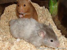 Lo gracioso es cuando hámster matrimonio | Elevar los hamsters