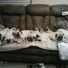 Lazy Pugs!!