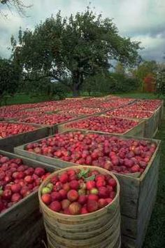 Annapolis Valley Apple Harvest Nova Scotia - Alan went apple picking there when he was a Sea Cadet Apple Harvest, Fall Harvest, Garden Great Ideas, Canadian Cuisine, Annapolis Valley, Growing Fruit Trees, Canadian Things, Honeycrisp Apples, Apple Crates