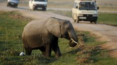 #AFRICA #POACHING #SWD #GREEN2STAY Africa's elephants disappearing as poaching thrives Great Elephant Census found population declined 30% from 2007 to 2014, falling at 8% per year The Associated Press Posted: Aug 31, 2016 4:04 PM ET Last Updated: Aug 31, 2016 4:05 PM ET