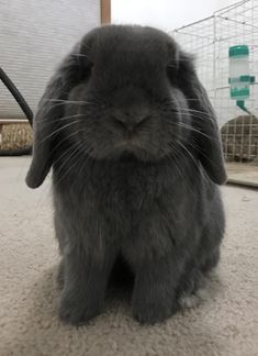 /r/rabbits is an open community where users can learn, share cute pictures, or ask questions about rabbits. Please note we are a *pet rabbit*. Pet Bunny Rabbits, Pet Rabbit, Cute Wild Animals, Cute Little Animals, Cute Baby Bunnies, Cute Babies, Cutest Bunny Ever, Love You Cute, Cute Husky