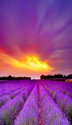 Lavender Fields, France 20 Most Colorful Places on the Worlds Sunset Wallpaper, Nature Wallpaper, Field Wallpaper, Lavender Fields, Lavender Flowers, Lavander, French Lavender, Lavender Oil, Beautiful World