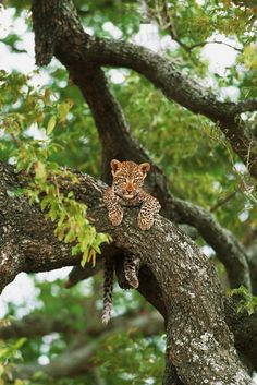 Baby Leopard in a tree Copyright © Suha Derbent.