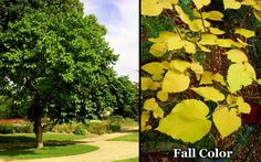 Image result for mulberry trees
