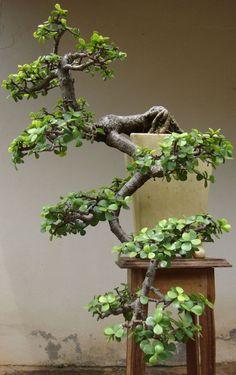Indoor Benches - A Single Is Ideal For Creating A Cozy Den House Cascade Dwarf Jade Bonsai. So Pretty. Jade Bonsai, Succulent Bonsai, Bonsai Plants, Bonsai Garden, Bonsai Tree Types, Indoor Bonsai Tree, Mini Bonsai, Ikebana, Bonsai Forest