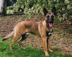 Điều bạn cần biết về chó Becgie Bỉ http://becgie.net/dieu-ban-can-biet-ve-cho-becgie-bi.html