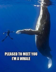 To dive with a humpback whale and other oceanic mammals! Yes, Orcas too. The Ocean, Ocean Life, Pesca Sub, Perfectly Timed Photos, Delphine, Tier Fotos, Humpback Whale, High Five, High Low