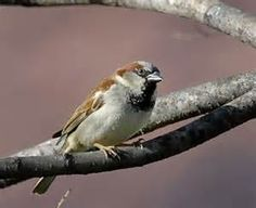 Picture of a sparrow, to illustrate my poem, No Shelter For A Sparrow