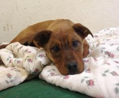 Babs is an adoptable Australian Cattle Dog (Blue Heeler) Dog in Liberty Center, IN. Babs is a 5 mo old er mix heeler puppy. She has already been Spayed and is up to date on her vaccinations. Her adopt...