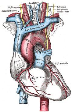Henry Gray (1825–1861). Anatomy of the Human Body. 1918.
