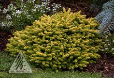Picea orientalis 'Tom Thumb' is a very slow-growing, golden yellow dwarf conifer.