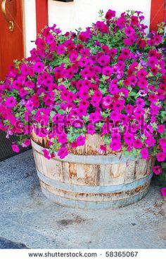 Petunias in barrel pot- prefer vary colour Container Flowers, Flower Planters, Container Plants, Container Gardening, Flower Pots, Barrel Flowers, Flowers Wine, Beautiful Flowers, Bush Garden