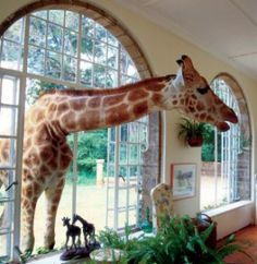 Giraffe Manor, always one of our favorites.  Babeth, we will join you as soon as we can.  Will loves this picture.