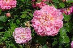 """Borderer  --  This rose only gets about 12-18"""" high by 24"""" wide. Clusters of 2.5"""" pink flowers   (darker than in pic). Blooms are very full (40-50 petals) with a lovely antique quartered form. Mild fragrance. Disease-resistant, needs almost no care. Polyantha/floribunda. Clark, 1918."""